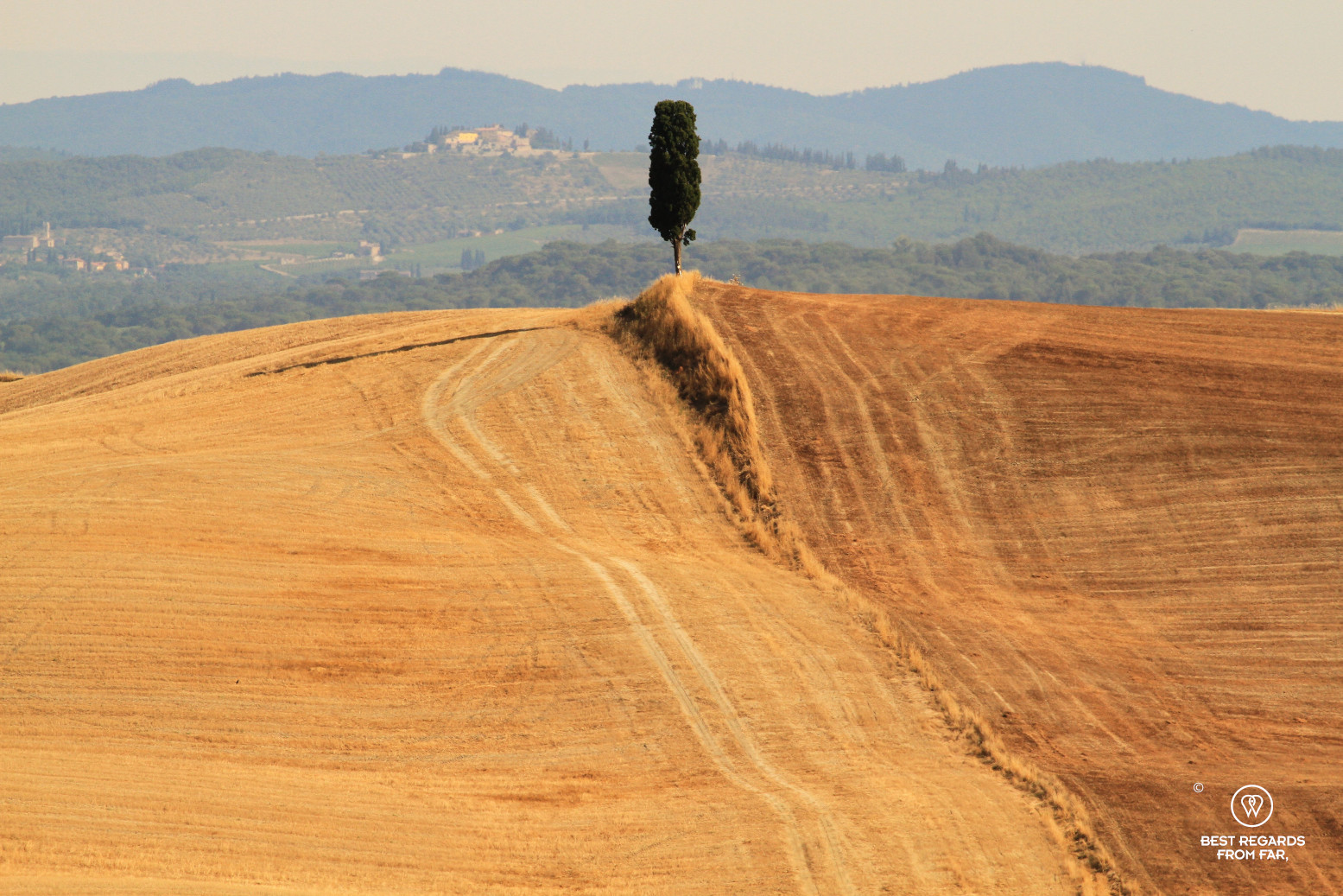A tree in the middle of two wheat fields in Tuscany, Italy