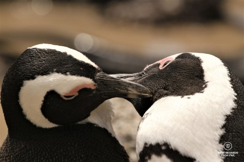 Close up on a pair of African Penguins grooming on Boulders Beach, Cape Town, South Africa