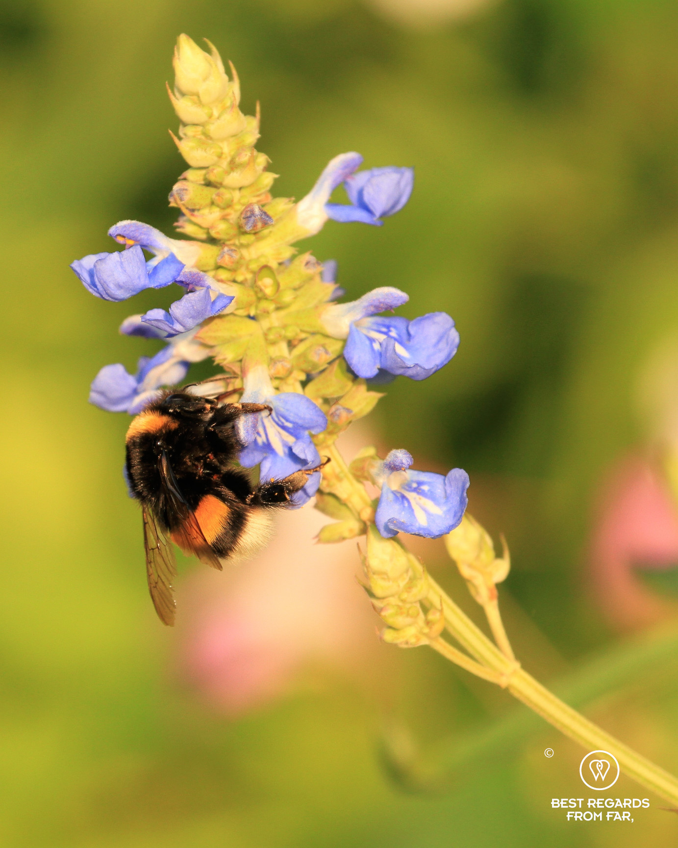 Bumble bee in Claude Monet's garden in Giverny, France