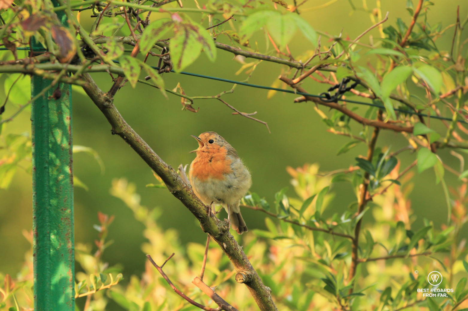 A robin singing on a branch in Claude Monet's garden in Giverny