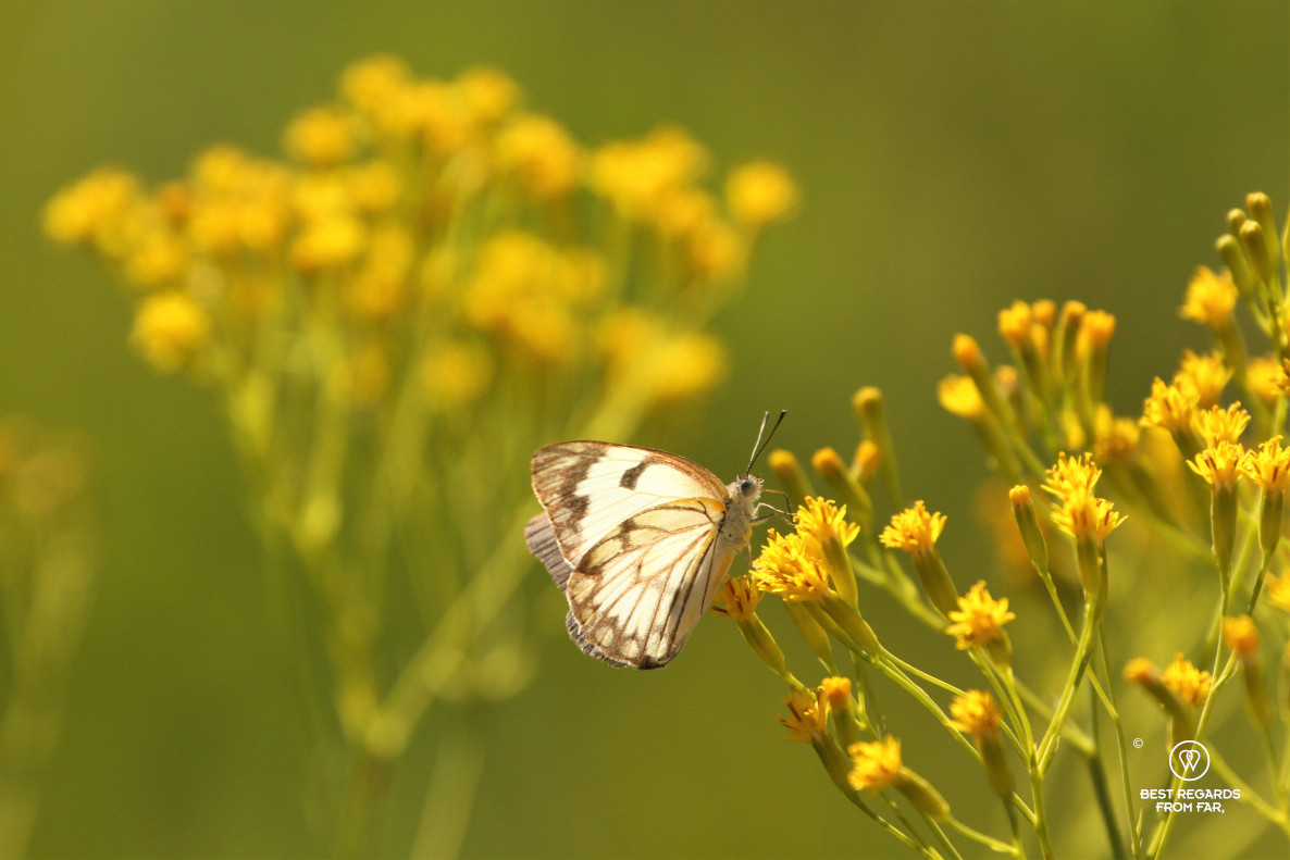 White and black butterfly on yellow wild flowers.