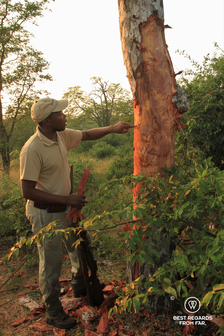 EcoTraining instructor Norman Chauke studying elephant signs on the bark of a marula tree