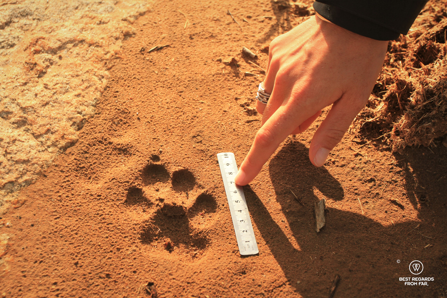 Measuring a hyaena track in the red mud with a ruler
