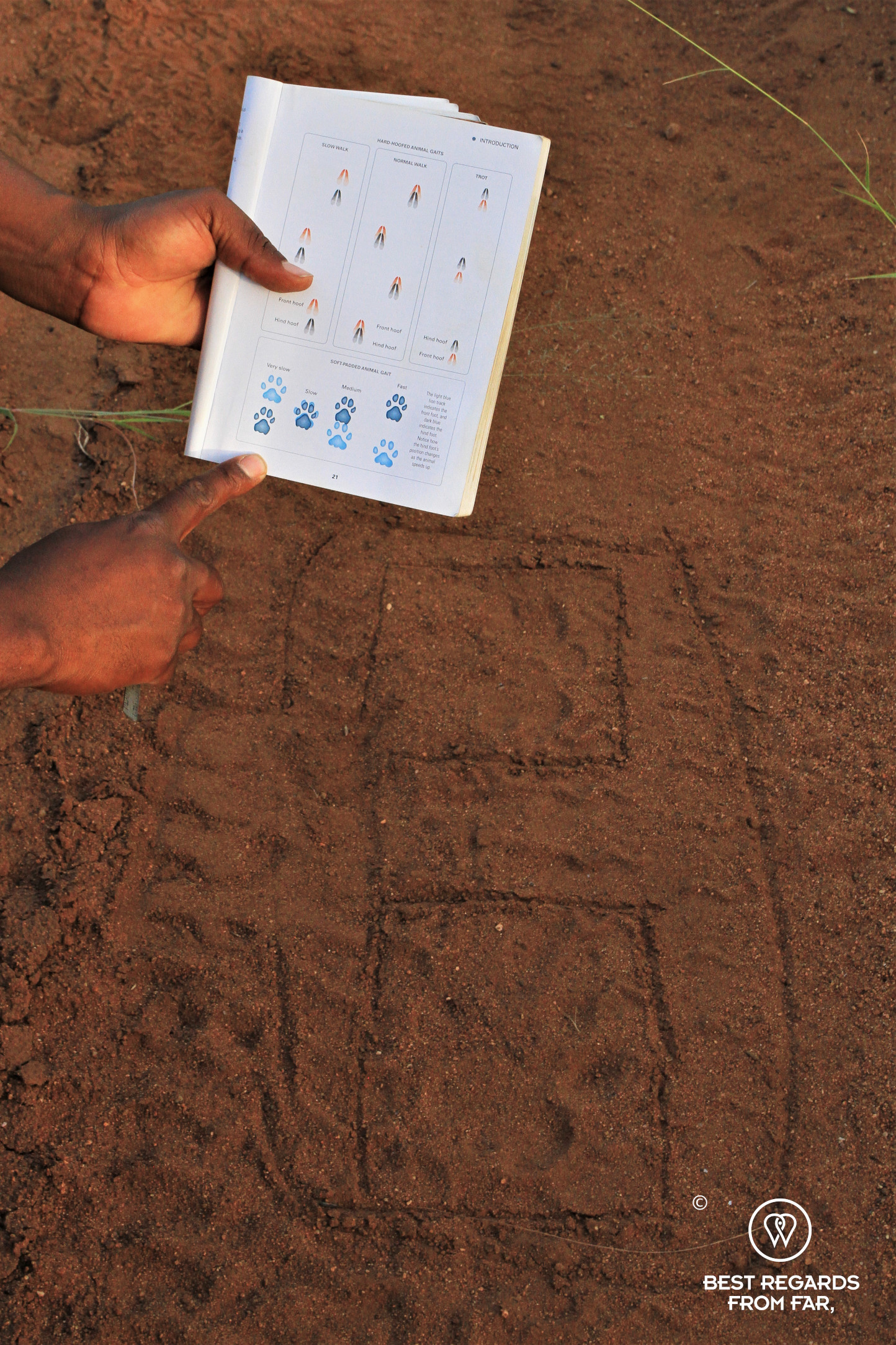 Lion tracks in the red sand with instructor pointing at a tracking book