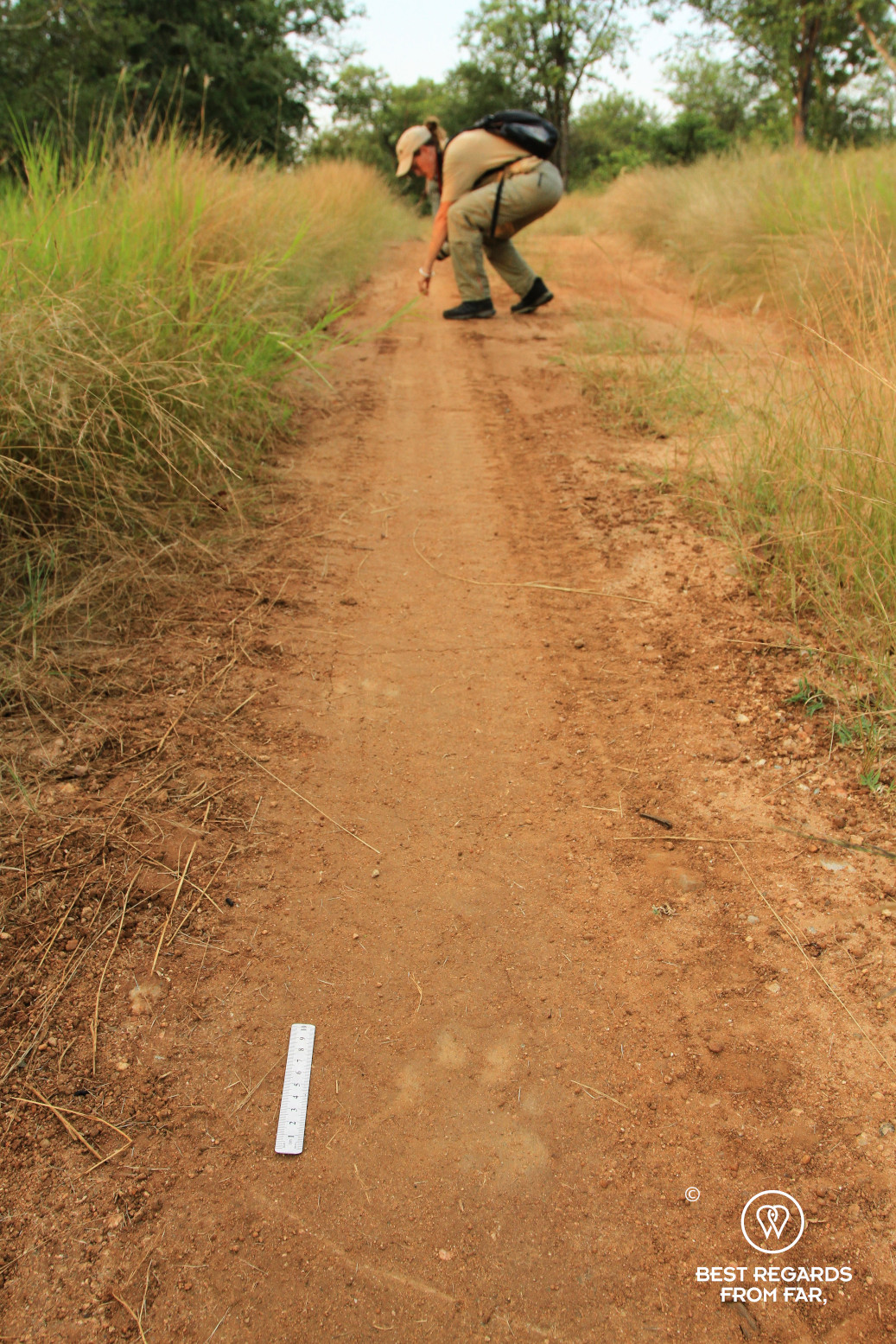 Student studying a lion track in the African bush, with a track and ruler on the foreground