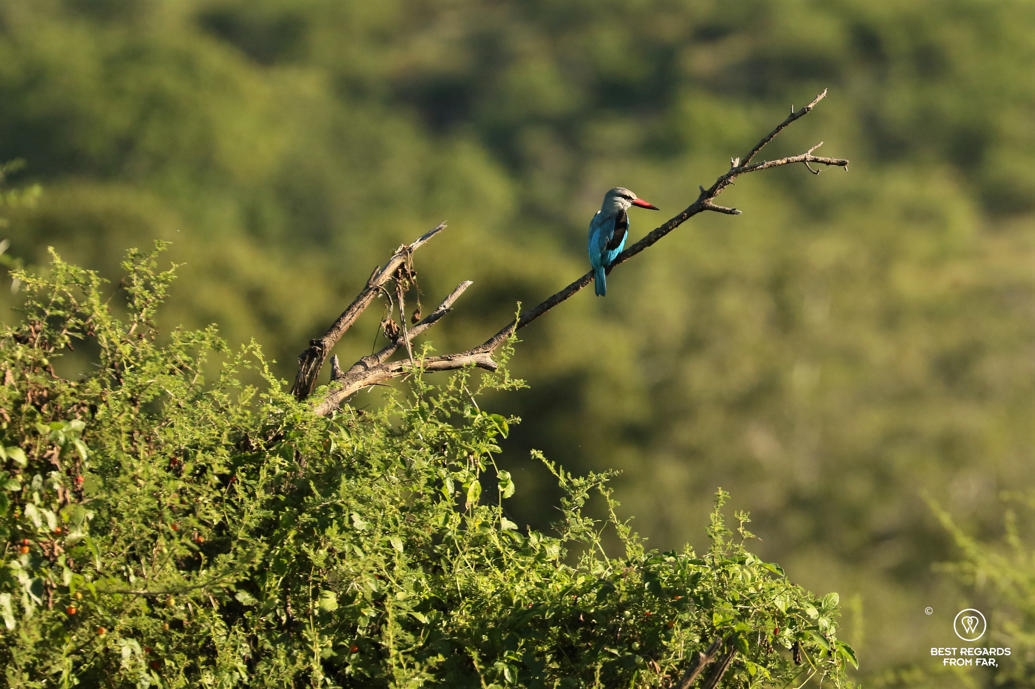 A blue woodland kingfisher seating on a dead branch in Makuleke, Kruger Park, South Africa