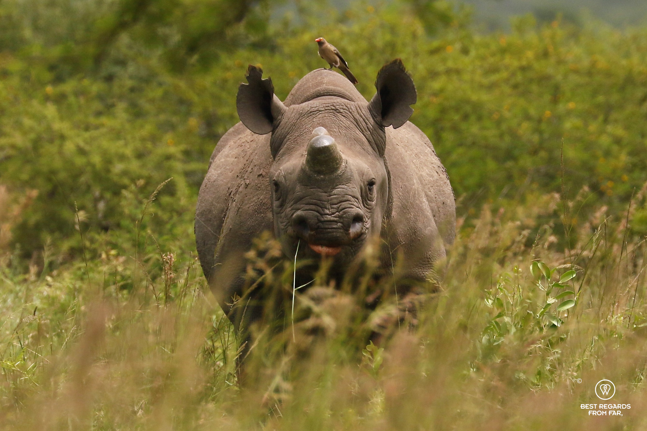 Dehorned black rhino with its pointy lip by a thicket