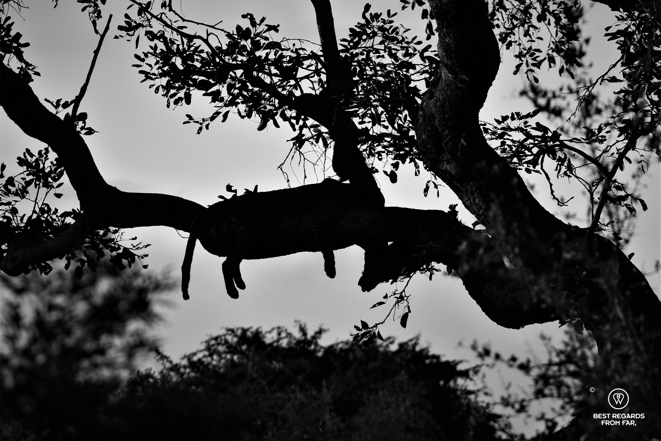 Black and white photos of the silhouette of a leopard sleeping in the tree with hanging paws and tail clearly visible