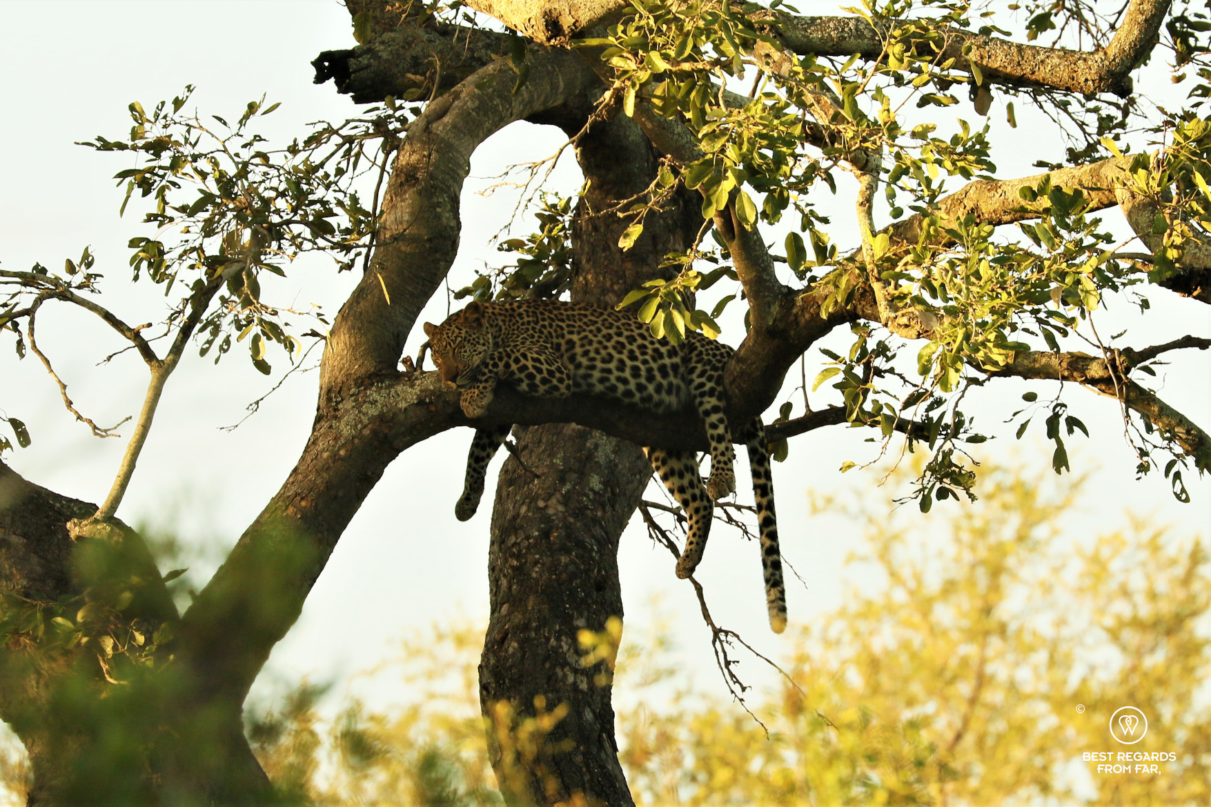 Wild leopard sleeping in a tree at sunset in South Africa