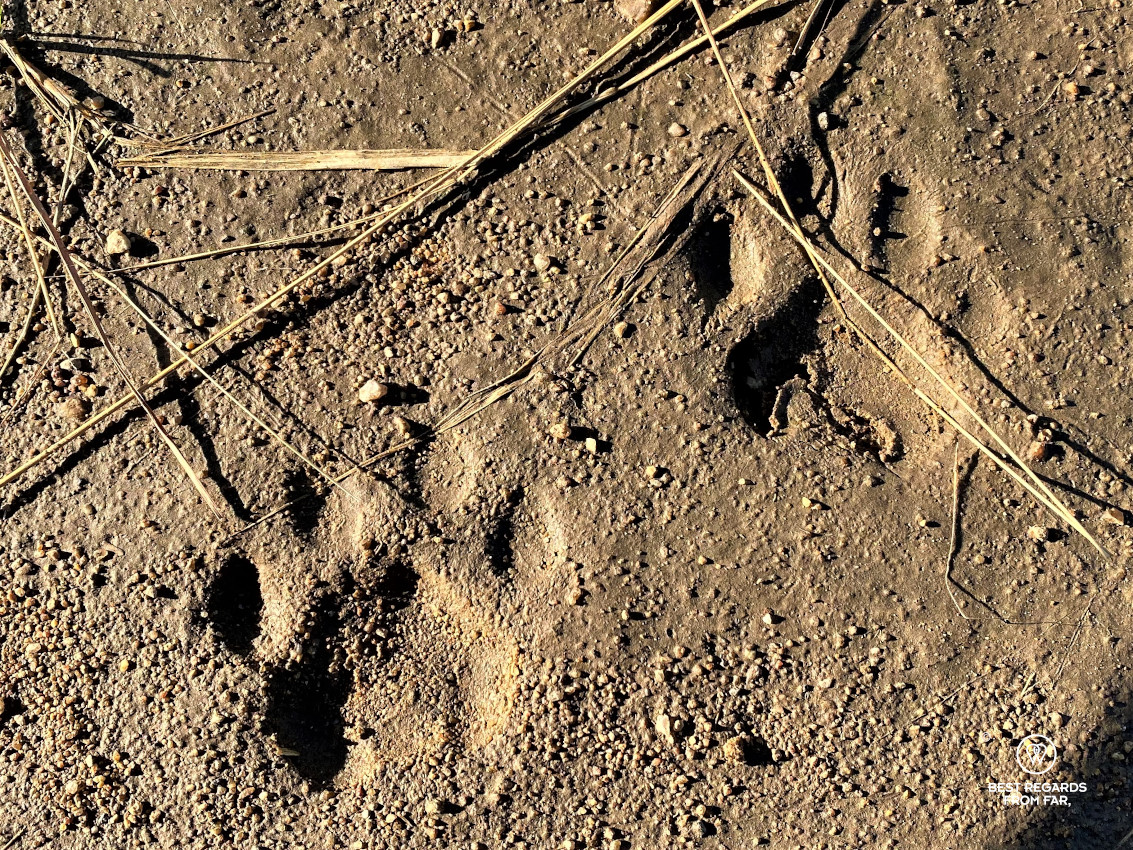 Clear leopards tracks in the mud