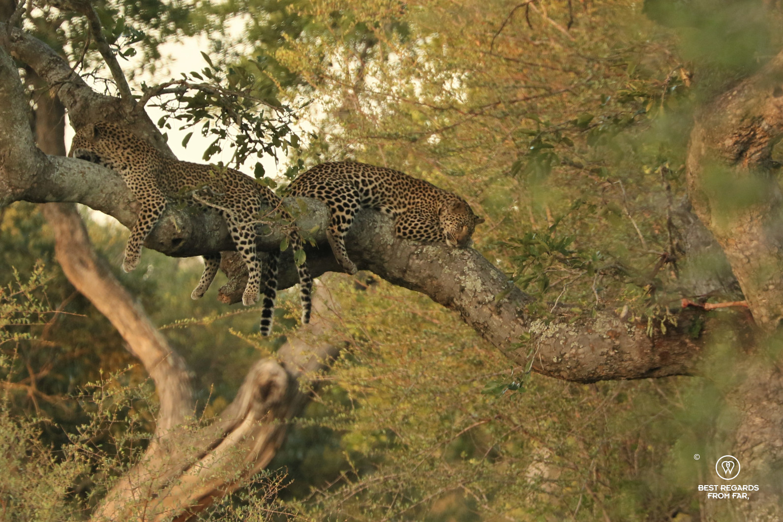Two leopards sleeping on a tree branch in the Kruger Park with their impala kill next to them
