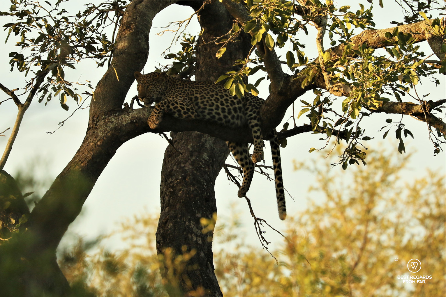 Female leopard resting on a branch with a full stomach after feeding