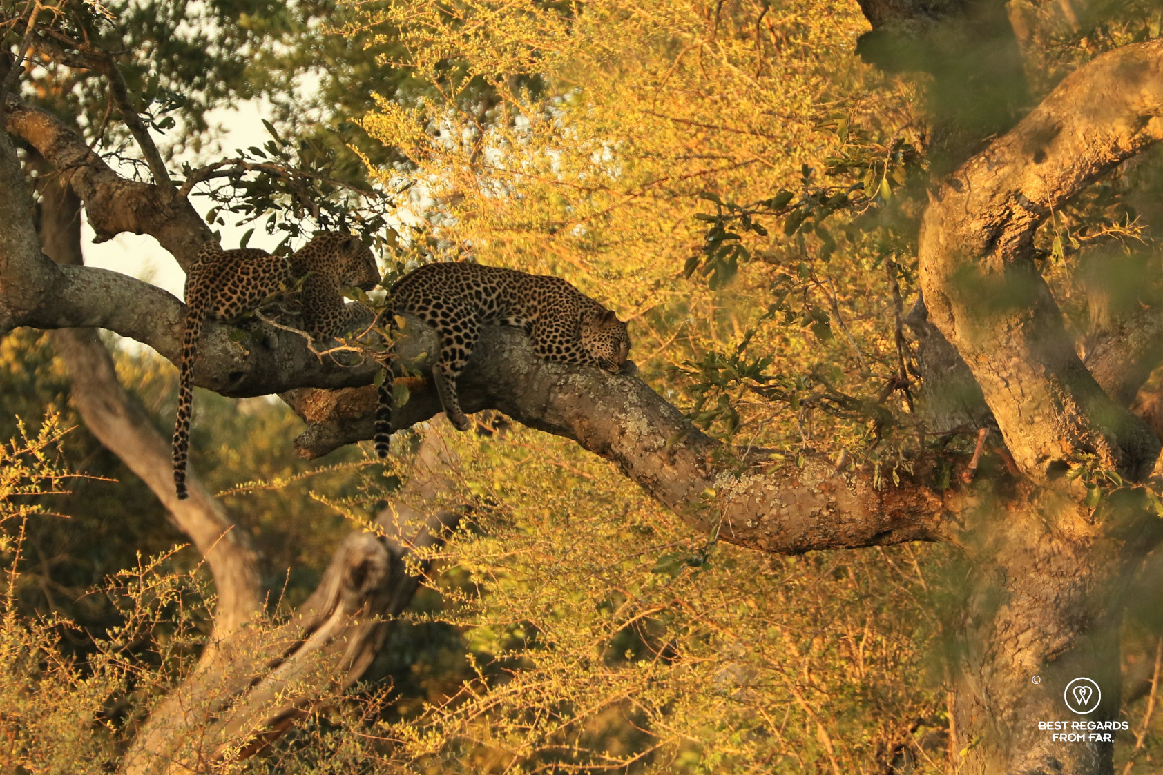 Two leopards sleeping on a large tree branch at sunset with d dead impala haning