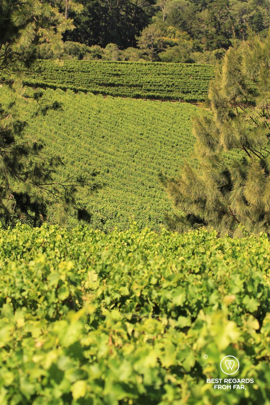 Beau Constantia vineyard, Constantia wine route, Cape Town