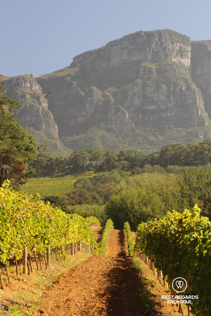 Constantia Royale vineyard with Table Mountain in the background, Constantia wine route, Cape Town