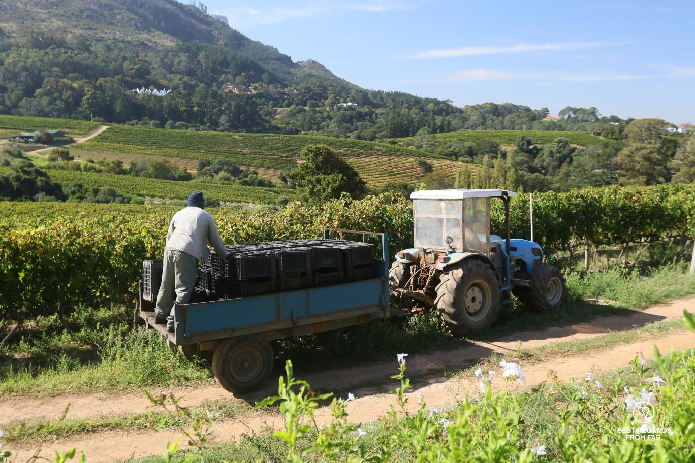 Glen Constantia vineyard with farm workers harvesting, Constantia wine route, Cape Town