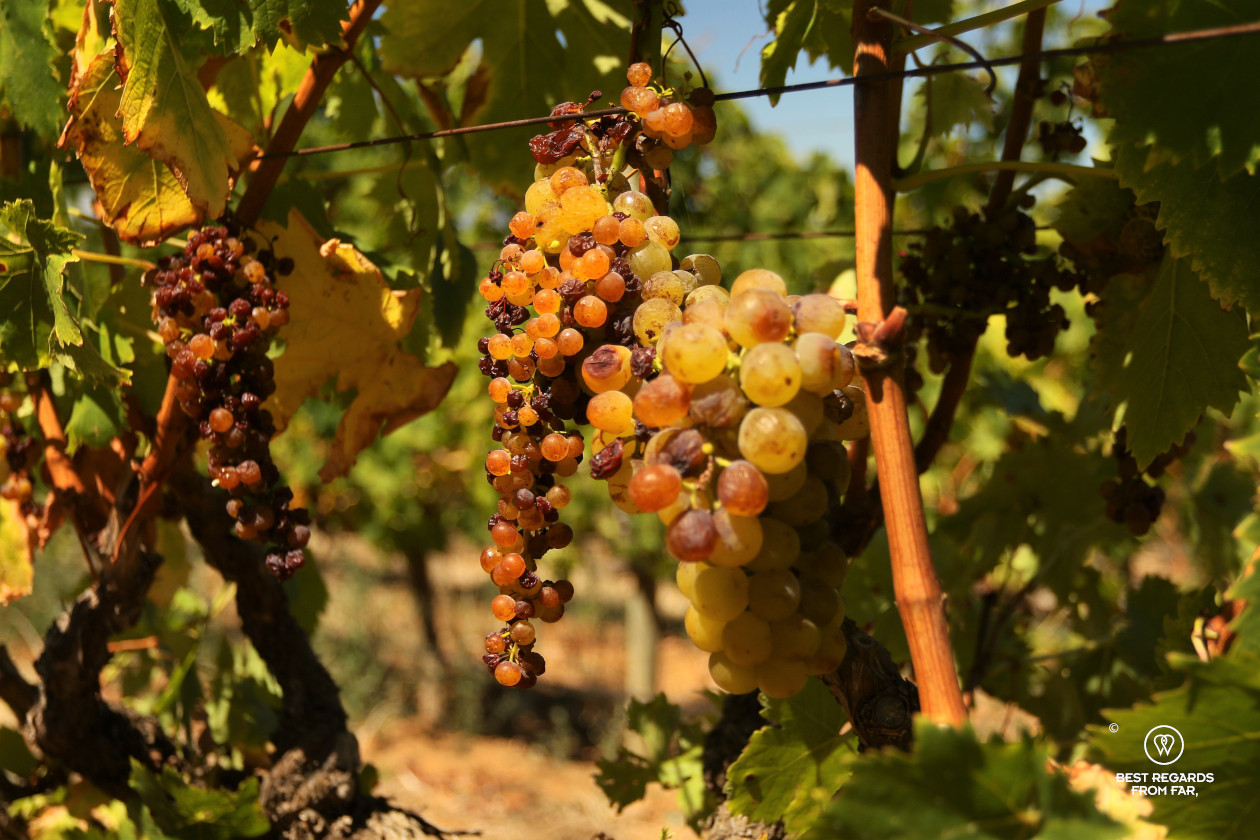 Ripe Muscat de Frontignan for Vin de Constance in Klein Constantia, Constantia wine route, Cape Town