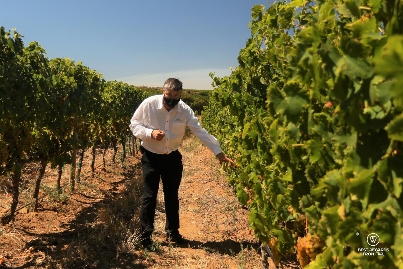 Wine safari in Klein Constantia with Alan Wickstrom in the vineyard, Constantia wine route, Cape Town