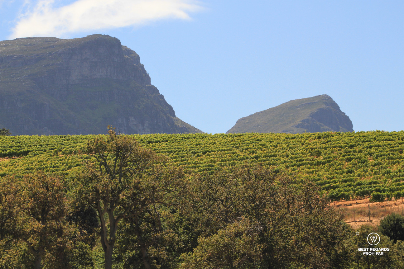 Klein Constantia vineyard with Table Mountain in the background, Constantia wine route, Cape Town