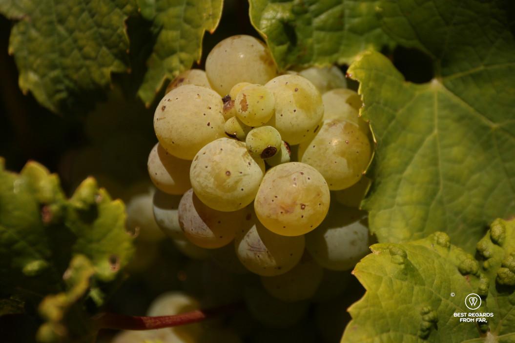 Grape on the vine in the sun