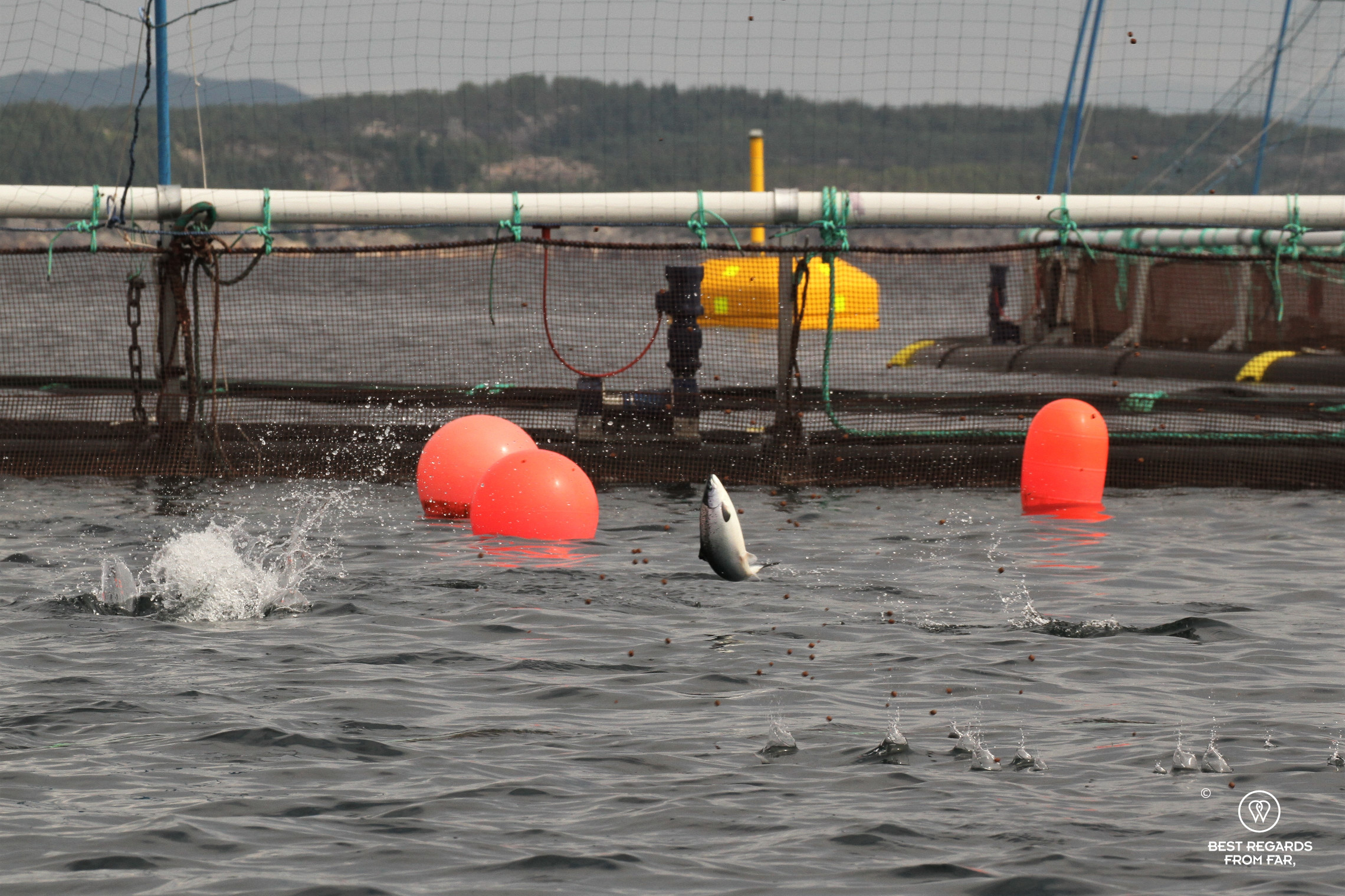 Salmon jumping for food in a salmon farm off Bergen, Norway