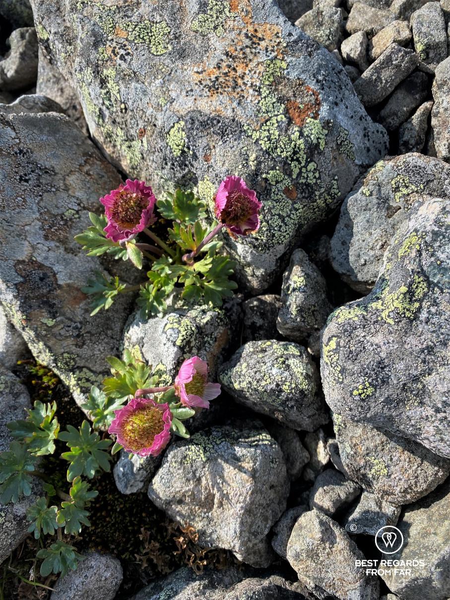 Four purple flowers blooming between rocks in Norway