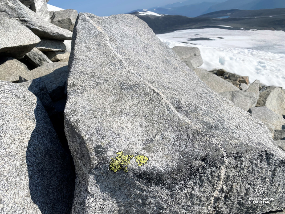 Yellow map lichen growing on a rock with a snowy background