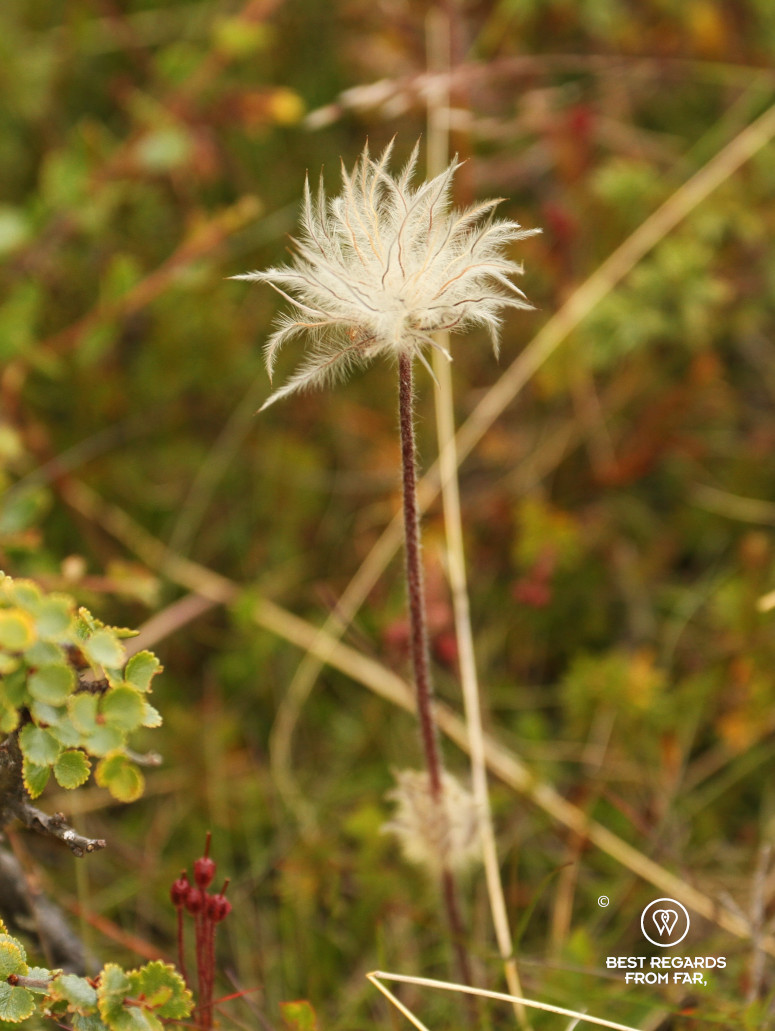 Mogop endemic plant in the mountains of the Dovrefjell National Park, Norway
