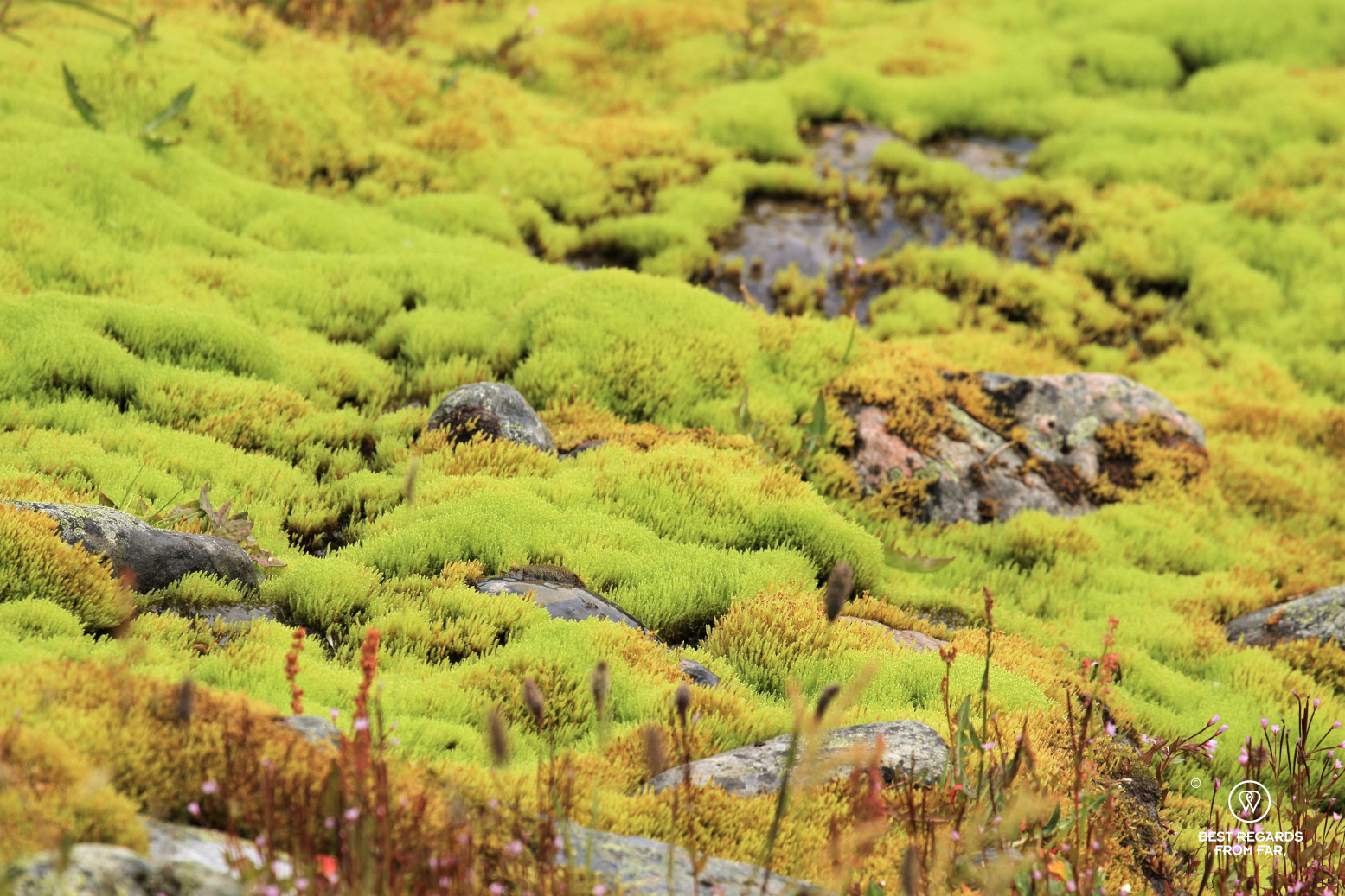 Moss in the mountains of the Dovrefjell National Park, Norway