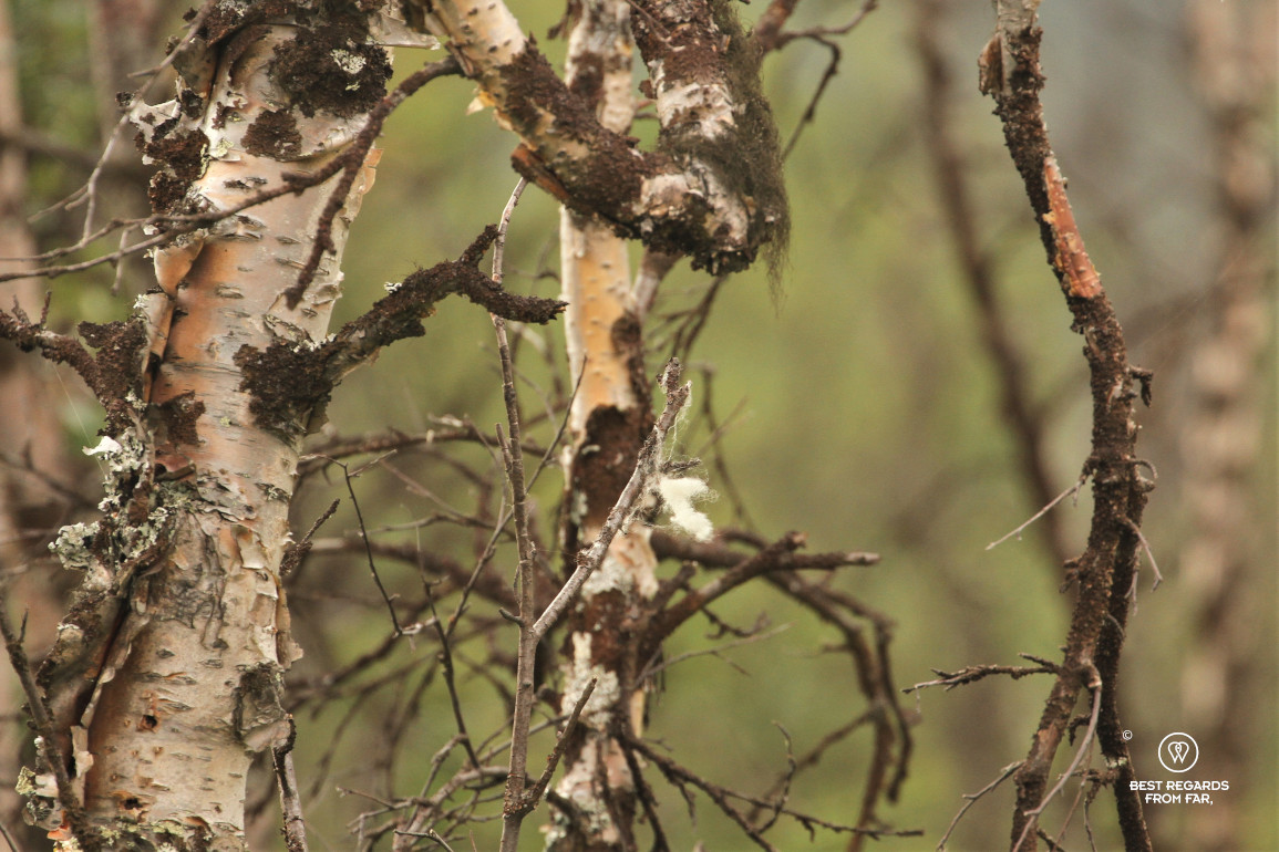 Musk ox hairs in a birch tree