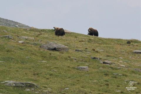 Musk Oxen in Dovrefjell Sunndalsfjella National Park, Norway