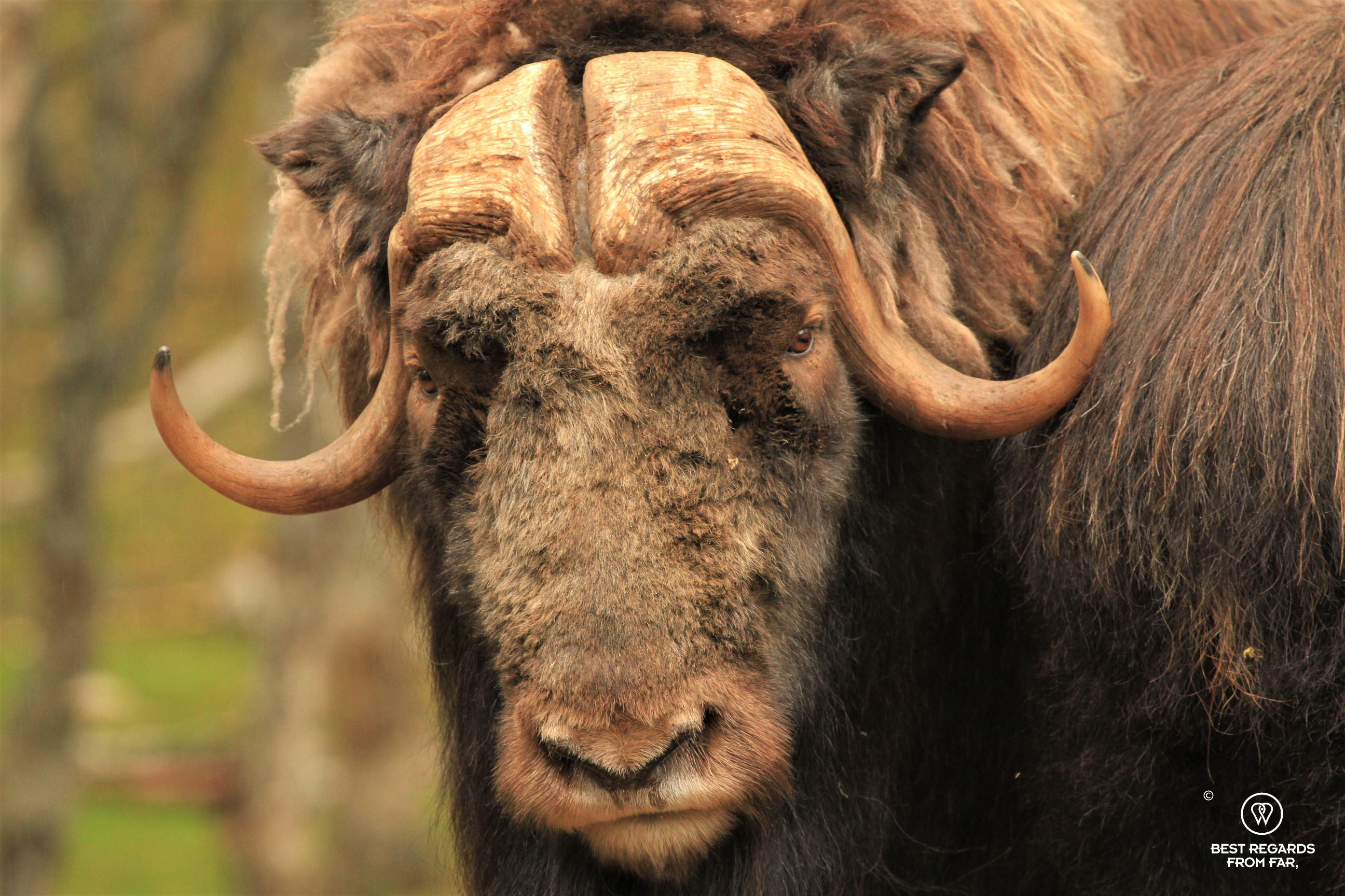 Close up of a male musk ox